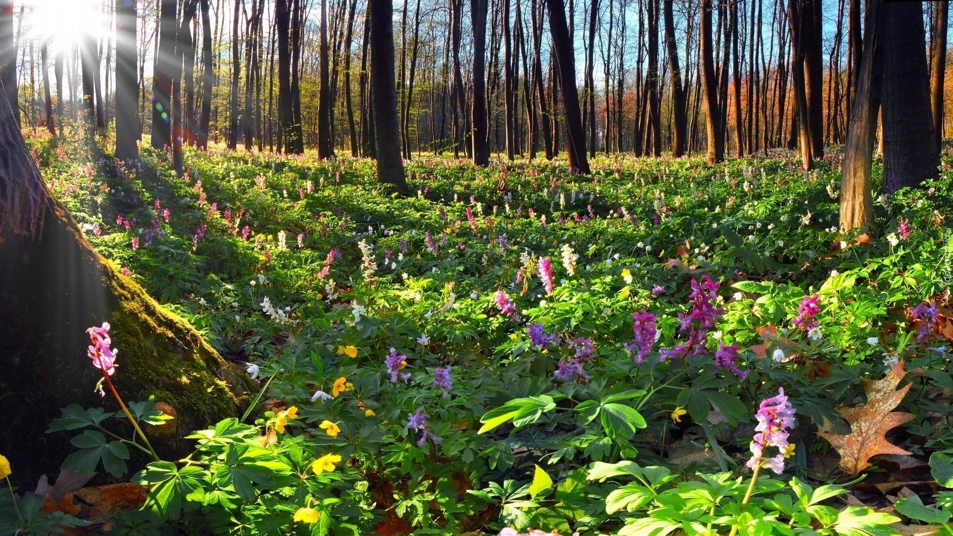208106_las_kwiaty_drzewa_promienie_slonca_wiosna